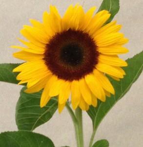 Sonnenblume von Christa