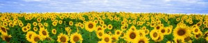 cropped-cropped-sunflower-11574_19202.jpg