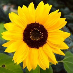 cropped-sunflower2.jpg