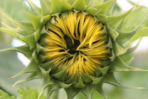 sun-flower-959289_960_720