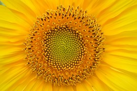 sunflower-829967__180