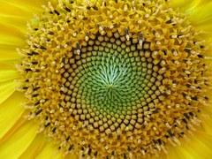 sunflower-917920__180Kerne