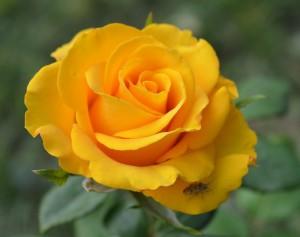 rose-967907_960_720