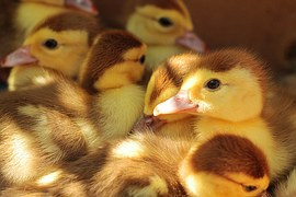 ducklings-984298__180