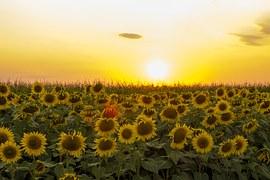 sunflower-1212245__180