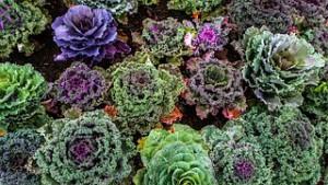 varieties-of-kale-1167557__180