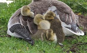 graugans-chick-1349543__180