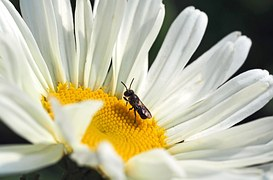 one-of-the-smallest-wild-bees-1374618__180