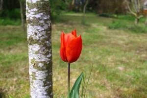 tulip-1362572_960_720