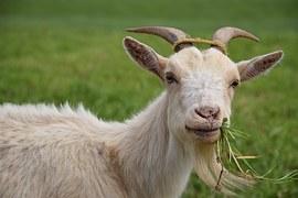 goat-1402613__180