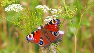 peacock-butterfly-1526939__180