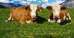 cow-1415553__180