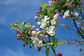 apple-blossom-173566__180