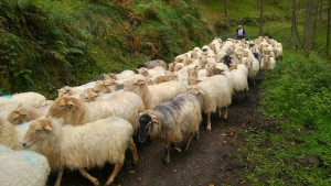 sheep-1779265_960_720