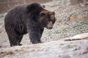 bear-1903100_960_720